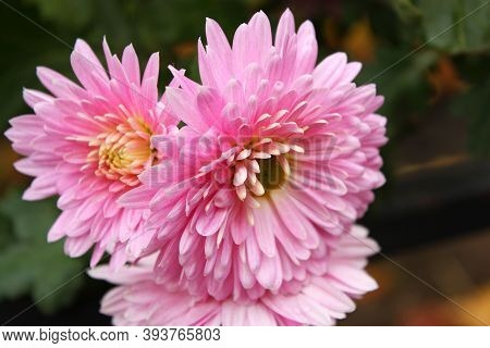 Blooming Pink Asters Callistephus Chinensis Bouquet. Three Beautiful Soft Pastel Flowers On A Green