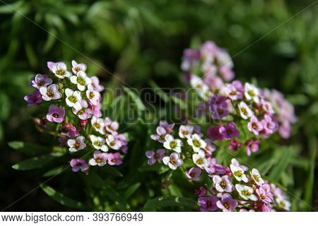 White And Violet Tiny Alyssum Florets With Yellow Small Stamens. Beautiful Flowering Wallpaper.