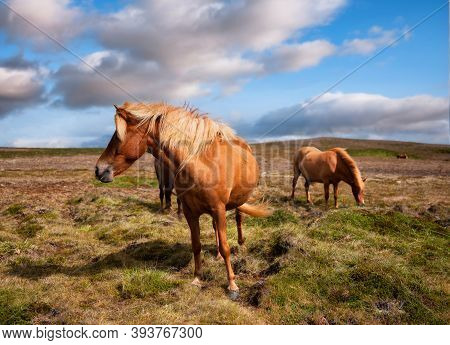Horse And Pony On The Westfjord In Iceland. Composition With Wild Animals. Classic Icelandic Landsca