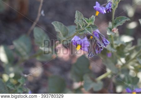 Umbel Inflorescence Of Purple Blooming From Chaparral Nightshade, Solanum Xanti, Solanaceae, Native