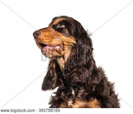 Head shot of Brown English cocker spaniel dog isolated on white