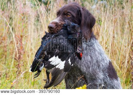 German Wirehaired Pointer Holds A Shot Black Grouse Cock By The Wing During Wildfowling