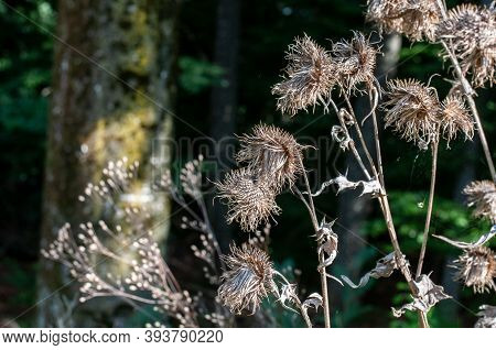 Wilted Thistles In Sunlight At A Forest Edge In Autumn