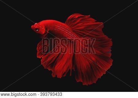 Beautiful Super Red Half Moon Tail Betta Fish Or Fighting Fish Moving Moment Isolated On Black Backg