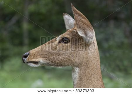 Single Mule Deer (Odocileus hemionus)