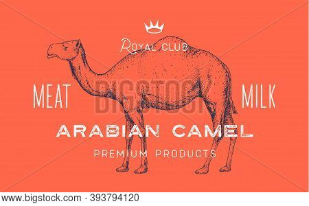Camel, Dromedary. Template Label. Vintage Retro Print, Tag, Label With Camel Drawing, Engraved Old S