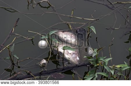 Dead Carpes In The Pond Surrounded By Household Garbage, Plastic. Fish Farming And Death From Lack O