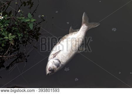 Dead Silver Carp (hypophthalmichthys Molitrix) In The Pond. Fish Farming And Death From Lack Of Oxyg