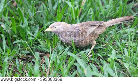 Ceylon Rufous Babbler (turdoides Rufescens) Collects Food On The Lawn. Sri Lanka Endemic Species, De