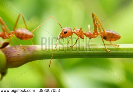 Red Ants Are Looking For Food On Green Branches. Work Ants Are Walking On The Branches To Protect Th