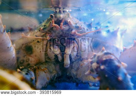 One Of The Largest Crustaceans In The Far East, The Kamchatka Crab Is An Object Of Fishing., Lifesty