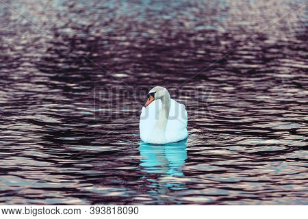 White Swan On The Dark Lake. Water Landscape With A Swan. Beautiful Blue Reflections And Glare Of Su
