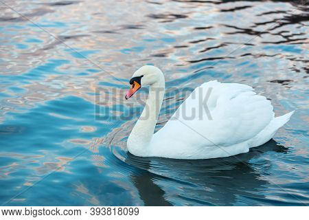 White Swan Close Up On Blue Background. Water Landscape With A Swan. Beautiful Reflections And Glare
