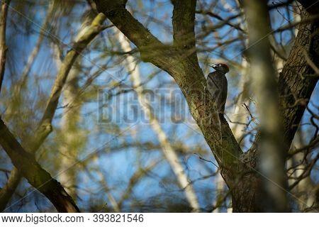 Bird Nesting Behaviour. Woodpecker With Chick In The Nesting Hole. Black Woodpecker In The Forest. W
