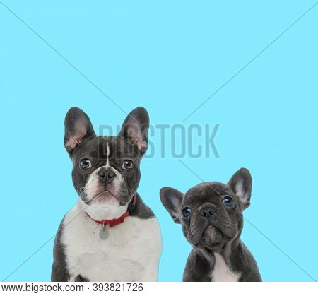 Dutiful French Bulldog wearing collar, looking forward and French bulldog cub curiously looking up on blue background
