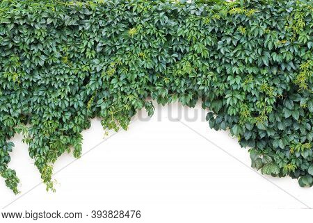 The White Wall Is Decorated With A Thousand Ivy Plants Hanging Down In The Form Of An Arch. Place Fo