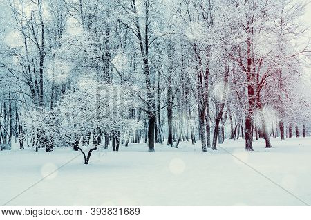 Winter forest landscape with falling snow, wonderland winter forest with snowfall over winter trees. Winter forest scene with snowfall. Winter forest sunny scene, forest trees in the winter forest, winter forest landscape, winter forest scene
