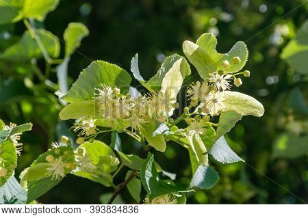 Linden Yellow Blossom Of Tilia Cordata Tree (small-leaved Lime, Little Leaf Linden Flowers Or Small-