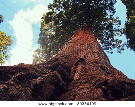 Looking up a Sequoia