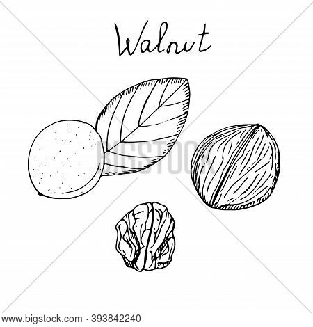 Walnut Set Skinned Shelled And Peeled Vector Illustration Hand Drawing