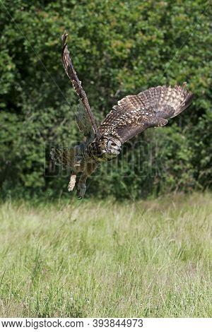Cape Eagle Owl, Bubo Capensis, Adult In Flight