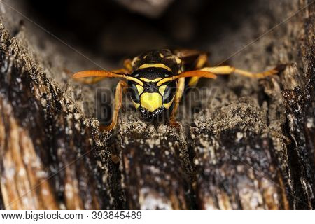 Common Wasp, Vespula Vulgaris, Adult, Normandy Common Wasp, Vespula Vulgaris, Adult, Normandy