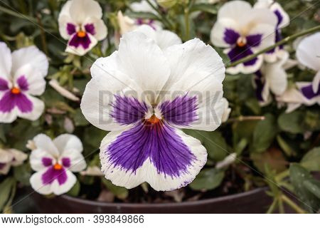 Beautiful Pansy Viola Flower Background. Viola Tricolor, Viola Cornuta Close Up