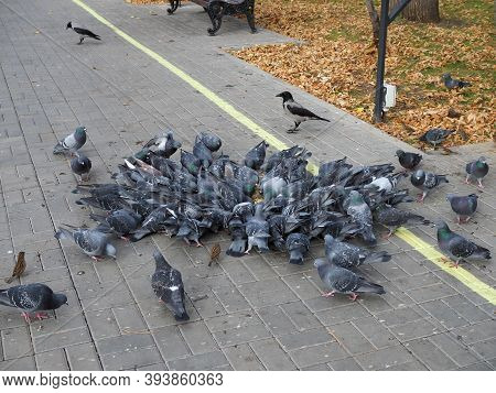 A Flock Of Urban Pigeons Pecking Grain On The Sidewalk On Sunny Day.