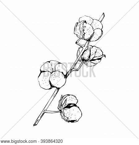Cotton Plant. Isolated Cotton On White Background