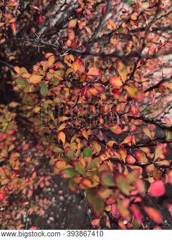 Autumn Red Yellow Barberry Berberis Bush Shrub Branch Berry Plant Nature Close Up Macro Photo Backgr