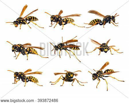 Set Of  Eight European Wasp German Wasp Or German Yellowjacket Isolateed On White Background In Lati