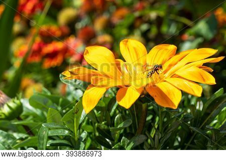 A Wasp And A Spider Sit On A Yellow Flower In Gazania, A Macro Photo.