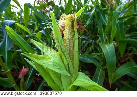 Green Field Of Corn With Young Cobs Growing On The Farm.