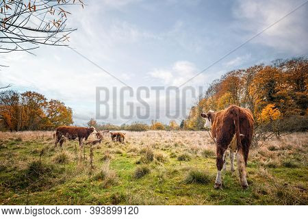 Hereford Cattle On A Meadow In The Fall With Colorful Trees In Autumn Colors. Cows Enjoying The Last