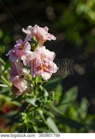 Snapdragon Flowers (antirrhinum) Closeup In The Garden