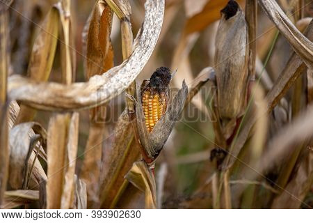 Ripe Corncob On A Withered Corn Plant