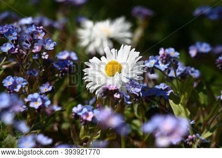 Solar Spring Morning. Among The Blue Field Of The Blossoming Forget-me-not There Is One White Flower