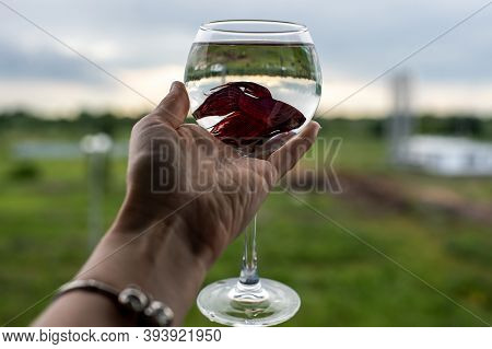 Fighting Cockerel Aquarium Fish In A Glass Of Water