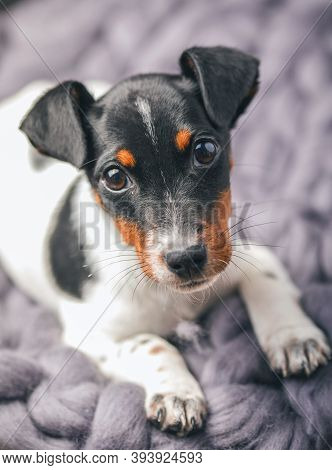 A Small White Dog Puppy Breed Jack Russel Terrier With Beautiful Eyes Lays On Blanket. A Small White