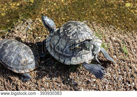 A Flock Of Trachemys Scripta Turtles. Small Turtle Resting On The Back Of A Large Wild Turtle On The