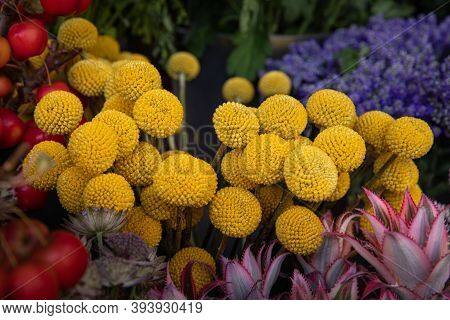 Fresh Cut Yellow Flowers Craspedia From The Daisy Family Commonly Known As Billy Buttons And Woollyh