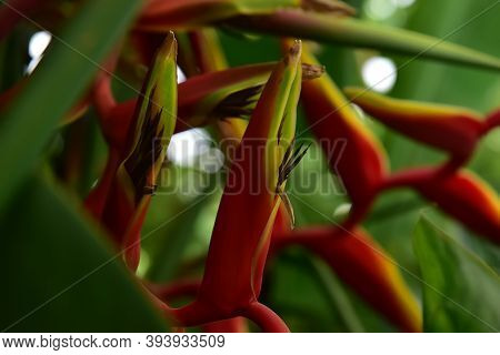 (heliconia Rostrata), Heliconia Tropical Flower