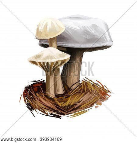 Hygrophorus Eburneus Ivory Waxy Cap Cowboy Handkerchief, Species Of Edible Mushroom In Waxgill Famil