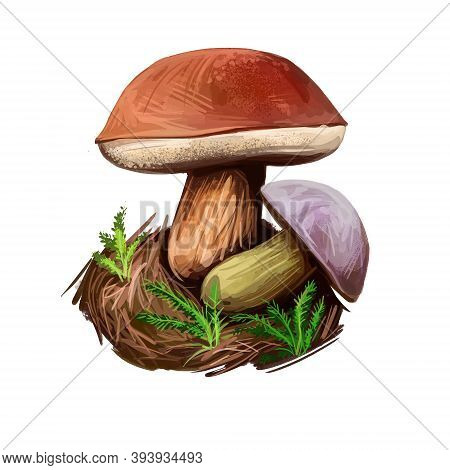 Imleria Badia Bay Bolete, Is An Edible, Pored Mushroom Found In Europe And North America Isolated On