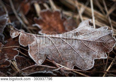 Dry Fallen Oak Leaf Covered With Hoar Frost