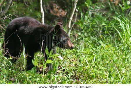 American Black Bear Series