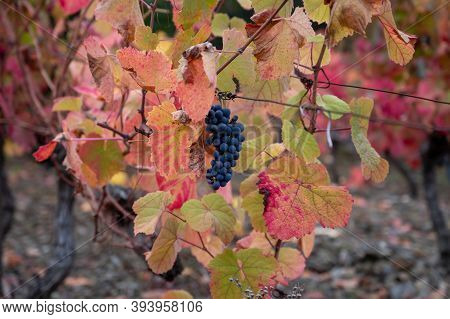 Colorful Autumn Landscape Of Oldest Wine Region In World Douro Valley In Portugal, Different Variete