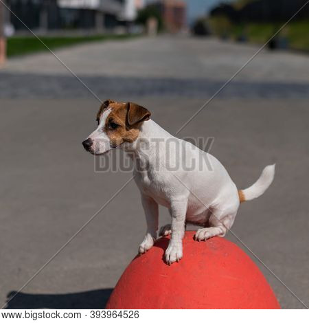 An Intelligent Obedient Dog Sits On Its Hind Paws In A Begging Pose On Anti Parking Concrete Stone.