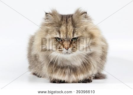 Angry Persian Cat Golden Chinchilla