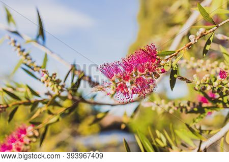 Native Australian Callistemon Bottle Brush Plant With Magenta Pink Flowers